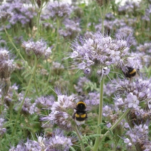 Bees feeding on Phacelia.