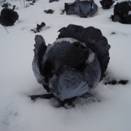 Red cabbage under snow (organic, Kent)