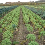 Kale as far as the eye can see - organic, kent