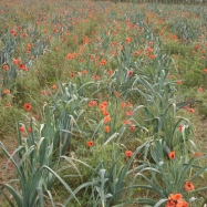 Poppies amongst the leeks (organic, Kent)