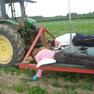 The 'lazy bed weeder' - organic carrots kent