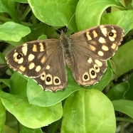 speckled wood butterfly on organic spinach seedlings
